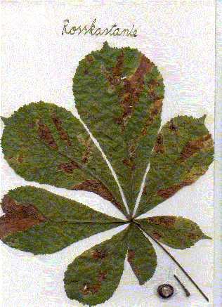 Herbarium Blätter david wellmann herbarium